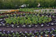 За лето в Мурманске появилось 170 тысяч цветов