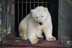 В Пермский зоопарк привезли белого медвежонка, раненного браконьерами