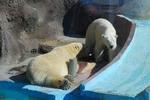 За белым медвежонком в ижевском зоопарке наблюдают через скрытую камеру