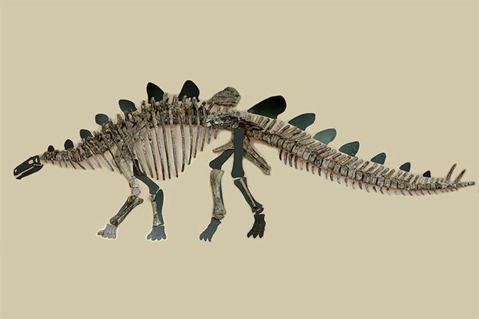 Палеонтологи собрали по косточкам стегозавра, жившего 165 миллионов лет назад!