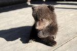 Медвежат, родившихся под Иркутском, отдают в хорошие руки