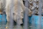 В красноярском зоопарке белые медведи открыли купальный сезон