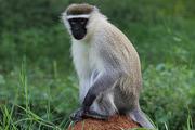 В Индии пастуху помогает обезьяна