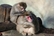 В Самарском зоопарке родилась обезьянка