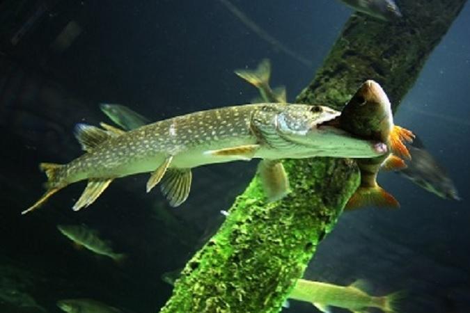 15 озер Псковщины заселили хищной рыбой