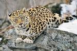 Именины леопарда