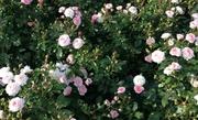 Почему розы не хотят цвести второй раз?