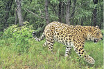 Внимание, конкурс! Стань хранителем леопарда