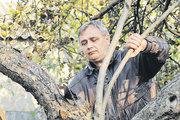 Как заставить плодоносить яблоню?