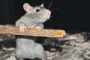 Мышкины слезы