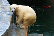 Белую медведицу Шилку посадили на самолет до Москвы