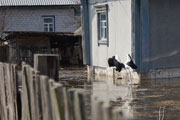 На Полесье из-за паводка эвакуируют людей и свиней