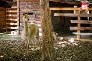 Ставропольский контактный зоопарк встречает нового обитателя - викунью