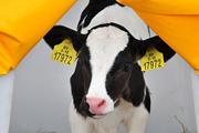 Жизнь фермы: коровы разгуливают в сережках, а телят поят из соски