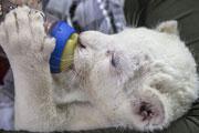 Милый белый львенок родился в зоопарке Белграда