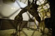 Самая старая жирафиха Европы отметила 33-летие, в ленинградском зоопарке.