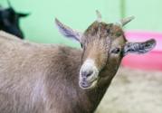 В Казань перед новым годом козы привезли камерунских козочек