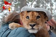 Прогулка новосибирского львенка по зимнему лесу