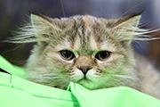 Выставка породистых котят в Иркутске