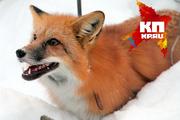 Прогулка с домашней лисицей в Новосибирске