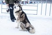 Любительские гонки на ездовых собаках в Зеленодольске 2015