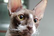 В Волгограде состоялась международная выставка кошек «ВАЛЕНТИНОВЫ КОТЫ»
