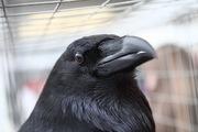 Трели пернатых для влюблённых на выставке птиц