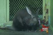 Детеныш трубкозуба из Екатеринбургского зоопарка поехал в Ижевск