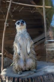 В зоопарке Казани сурикаты родили двойню
