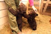 Три медведя из зоопарка «Садгород»