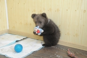 В пермскую гостиницу для животных привезли медвежонка