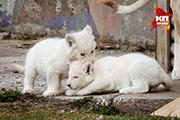 В Ярославском зоопарке отпраздновали именины белых львят Мартина и Ники