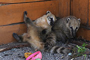 Носухи и другие обитатели контактного зоопарка в Иркутске