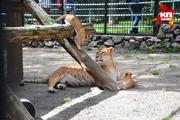 Лигрица Зита из Новосибирского зоопарка родила двойню