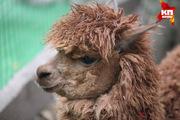 В ставропольском контактном зоопарке появилась альпака по кличке «Лаки»
