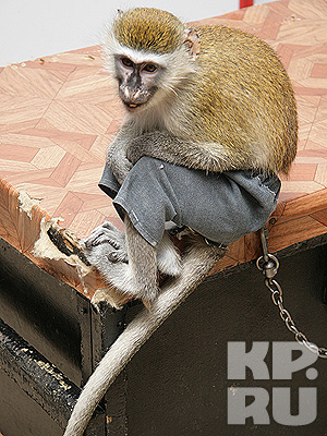 "В Волгоград приехал ""Парад обезьян"""