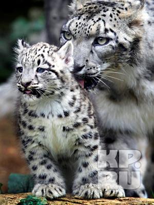 Снежные леопарды.