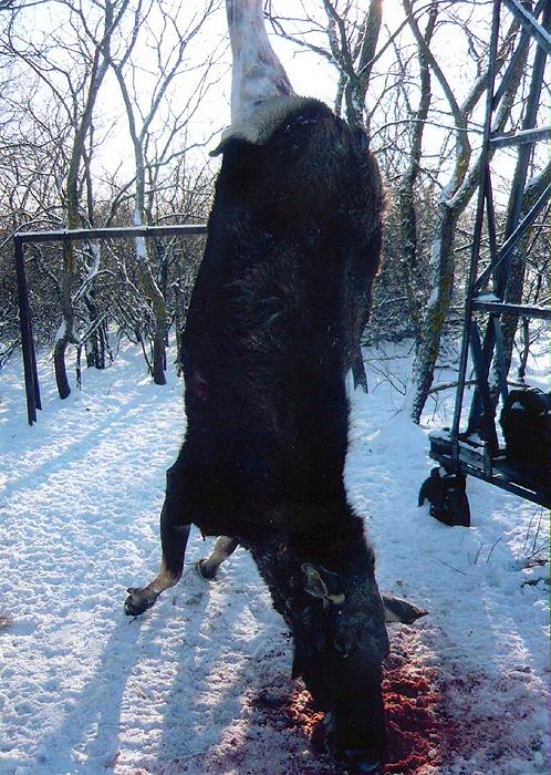 В Волгоградской области VIP-охотники убили беременную лосиху.