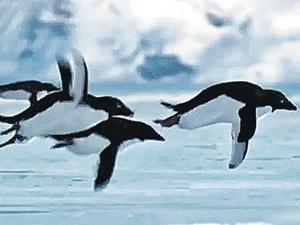 В первоапрельском сюжете, подготовленном ВВС, пингвины мигрируют в Южную Америку - своим ходом. И в итоге отогреваются там среди пальм.
