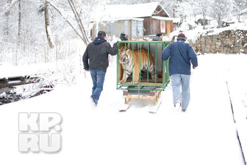 Тигра привезли в реабилитационный центр «Утес» Сихотэ-Алинского заповедника.