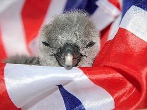 Этот пингвиненок родился в Лондонском зоопарке незадолго до свадьбы принца Уильяма и Кейт Миддлтон