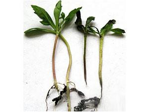 Болезни рассады.  Поражается рассада томата и других пасленовых культур в парниках или сразу после высадки в грунт.