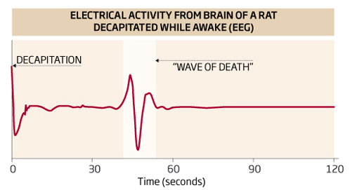 """""""Волна смерти"""" - всплеск электрической активности мозга - на энцефалограмме крысы"""