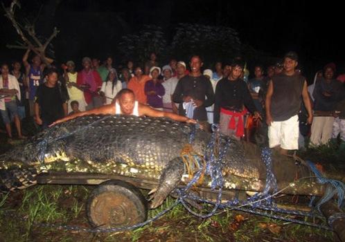 В начале августа крокодил съел буйвола и, скорее всего, рыбака...