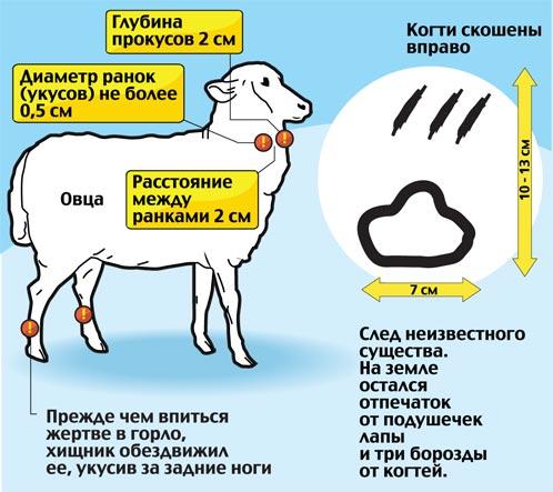 На рисунках - схема ран, которые получили животные на подмосковной ферме, и таинственный след, обнаруженный рядом