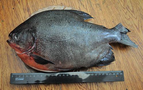Рыба длинною больше 30 сантиметров весит около килограмма.