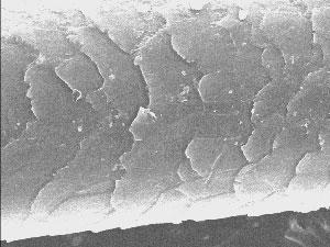 Шерсть кузбасского йети, найденная в Азасской пещере; под электронным микроскопом у нее точно такое же строение, как у ленинградского, уральского и калифорнийского йети.