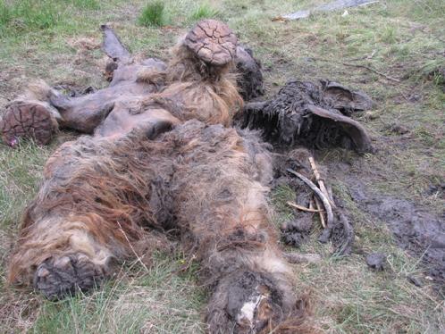 Из полости в вечной мерзлоте мамонтенка извлекли на поверхность. Фото с сайта СО РАН, предоставлено Геннадием Боескоровым