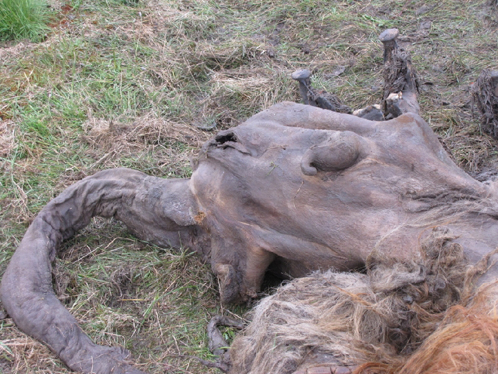 У мамонтенка сохранились даже внтренние органы. Фото с сайта СО РАН, предоставлено Геннадием Боескоровым