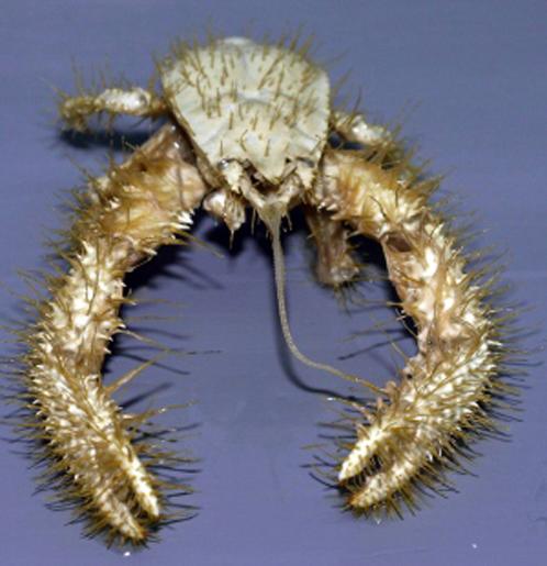 Волосатый краб - йети. Живет околло Коста-Рики